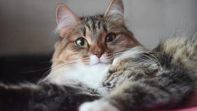 Γάτα με τα μεγάλα πράσινα μάτια closeup φιλμ μικρού μήκους