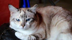 Γάτα με τα μπλε μάτια απόθεμα βίντεο