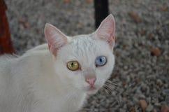 Γάτα με τα μπλε και πράσινα μάτια Στοκ Εικόνα