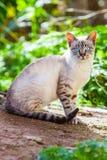 Γάτα με τα μπλε μάτια Στοκ φωτογραφίες με δικαίωμα ελεύθερης χρήσης