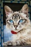 Γάτα με τα μπλε μάτια στοκ φωτογραφία με δικαίωμα ελεύθερης χρήσης