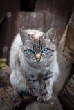 Γάτα με τα μπλε μάτια Στοκ εικόνες με δικαίωμα ελεύθερης χρήσης