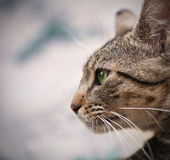 Γάτα με τα πράσινα μάτια Στοκ φωτογραφία με δικαίωμα ελεύθερης χρήσης