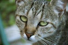 Γάτα με τα όμορφα μάτια Στοκ Εικόνες