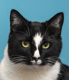 Γάτα με την μπλε ανασκόπηση Στοκ εικόνα με δικαίωμα ελεύθερης χρήσης