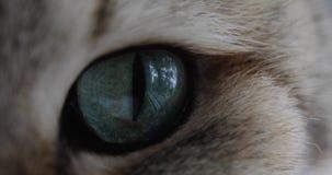 Γάτα με τη μεγάλη μπλε ή πράσινη κινηματογράφηση σε πρώτο πλάνο ματιών που εξετάζει τη κάμερα Χρυσή βρετανική γάτα φιλμ μικρού μήκους