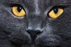 Γάτα με το γκρίζο μαλλί Στοκ Εικόνες