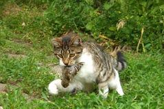 Γάτα με το θήραμα στα δόντια στοκ εικόνες