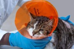Γάτα με το περιλαίμιο μετά από τον όγκο που αφαιρεί τη χειρουργική επέμβαση Ζώο, εσωτερικό στοκ εικόνες