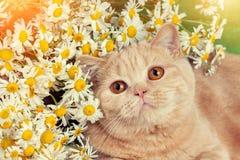 Γάτα με camomile τα λουλούδια Στοκ Εικόνες
