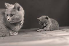Γάτα μητέρων με τα γατάκια σε ένα μαύρο υπόβαθρο Στοκ Φωτογραφίες