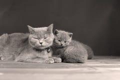 Γάτα μητέρων με τα γατάκια σε ένα μαύρο υπόβαθρο Στοκ Εικόνες