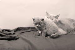 Γάτα μητέρων με τα γατάκια σε ένα μαύρο υπόβαθρο Στοκ εικόνα με δικαίωμα ελεύθερης χρήσης