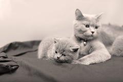 Γάτα μητέρων με τα γατάκια σε ένα μαύρο υπόβαθρο Στοκ Φωτογραφία