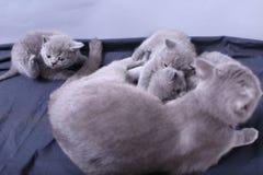 Γάτα μητέρων με τα γατάκια σε ένα μπλε υπόβαθρο Στοκ Φωτογραφία