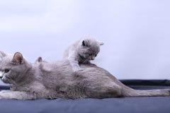 Γάτα μητέρων με τα γατάκια σε ένα μπλε υπόβαθρο Στοκ Εικόνες