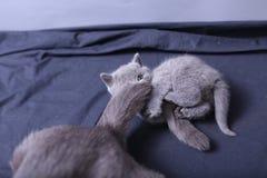 Γάτα μητέρων με τα γατάκια σε ένα μπλε υπόβαθρο Στοκ Φωτογραφίες