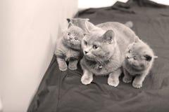 Γάτα μητέρων με τα γατάκια σε ένα ξύλινο υπόβαθρο Στοκ Φωτογραφία