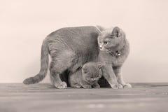 Γάτα μητέρων με τα γατάκια σε ένα ξύλινο υπόβαθρο Στοκ εικόνα με δικαίωμα ελεύθερης χρήσης