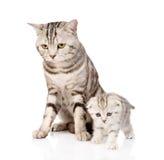 Γάτα μητέρων με το γατάκι η ανασκόπηση απομόνωσε το λευκό Στοκ Εικόνες