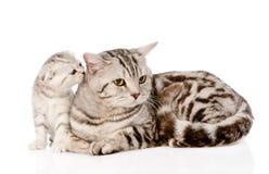 Γάτα μητέρων με το γατάκι η ανασκόπηση απομόνωσε το λευκό Στοκ Φωτογραφία