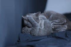 Γάτα μητέρων με το γατάκι σε ένα μπλε υπόβαθρο Στοκ Φωτογραφία