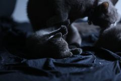 Γάτα μητέρων με το γατάκι σε ένα μπλε υπόβαθρο Στοκ Εικόνες
