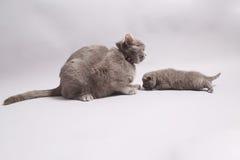 Γάτα μητέρων με το μωρό της Στοκ Εικόνες