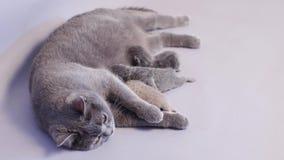 Γάτα μητέρων που θηλάζει τα μωρά της απόθεμα βίντεο