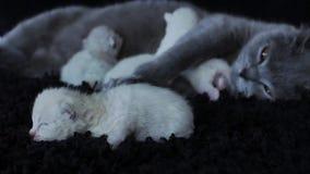 Γάτα μητέρων που ταΐζει τα γατάκια της, μαύρο υπόβαθρο απόθεμα βίντεο