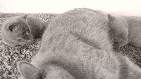 Γάτα μητέρων που ταΐζει τα γατάκια της, τάπητας απόθεμα βίντεο