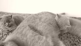 Γάτα μητέρων που ταΐζει τα γατάκια της, doormat απόθεμα βίντεο