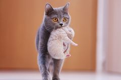 Γάτα μητέρων που φέρνει το μωρό της Στοκ Φωτογραφίες