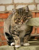Γάτα Μια μεγάλη γκρίζα συνεδρίαση γατών στο μέρος έξω από το σπίτι στοκ εικόνα