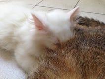γάτα μικροσκοπική Στοκ Εικόνα