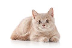 Γάτα Μικρό κόκκινο βρετανικό γατάκι κρέμας στο άσπρο υπόβαθρο Στοκ Εικόνες