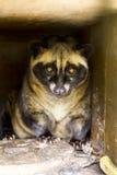 Γάτα μοσχογαλών Luwak στοκ φωτογραφία με δικαίωμα ελεύθερης χρήσης
