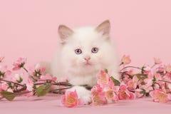Γάτα μωρών κουκλών κουρελιών με τα μπλε μάτια που βρίσκονται στο πάτωμα που εξετάζει τη κάμερα μεταξύ των ρόδινων λουλουδιών σε έ Στοκ Φωτογραφίες