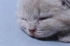 Γάτα μωρών με το χαριτωμένο πρόσωπο, πορτρέτο κινηματογραφήσεων σε πρώτο πλάνο στοκ εικόνες