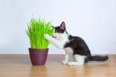 Γάτα μωρών που τρώει wheatgrass ή χλόη γατών Στοκ φωτογραφία με δικαίωμα ελεύθερης χρήσης