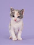 Γάτα μωρών Lavendel Στοκ Εικόνα