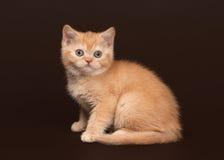 66661bcfc7e6 Γάτα Νέο κόκκινο βρετανικό γατάκι στο σκοτεινό καφετί υπόβαθρο Στοκ Εικόνα  - εικόνα από κλίση