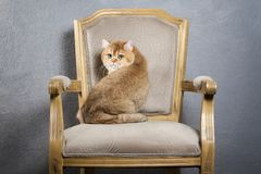 Γάτα Νέο χρυσό βρετανικό γατάκι στο γκρίζο κατασκευασμένο υπόβαθρο Στοκ εικόνα με δικαίωμα ελεύθερης χρήσης