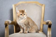 Γάτα Νέο χρυσό βρετανικό γατάκι στο γκρίζο κατασκευασμένο υπόβαθρο Στοκ Φωτογραφίες