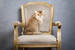 Γάτα Νέο χρυσό βρετανικό γατάκι στο γκρίζο κατασκευασμένο υπόβαθρο Στοκ εικόνες με δικαίωμα ελεύθερης χρήσης