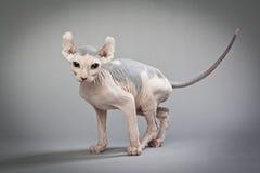 Γάτα νεραιδών με τα χρώματα Στοκ Φωτογραφίες