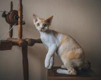 γάτα Ντέβον rex Στοκ Εικόνα