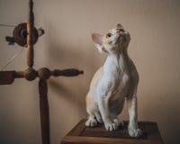 γάτα Ντέβον rex Στοκ εικόνες με δικαίωμα ελεύθερης χρήσης