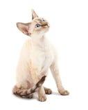 γάτα Ντέβον rex στοκ εικόνες