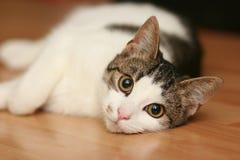 γάτα νυσταλέα Στοκ φωτογραφία με δικαίωμα ελεύθερης χρήσης